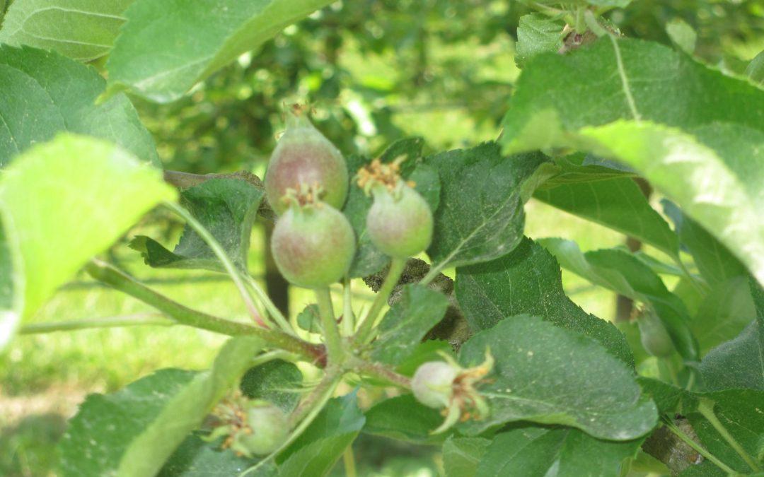 Die ersten Äpfel