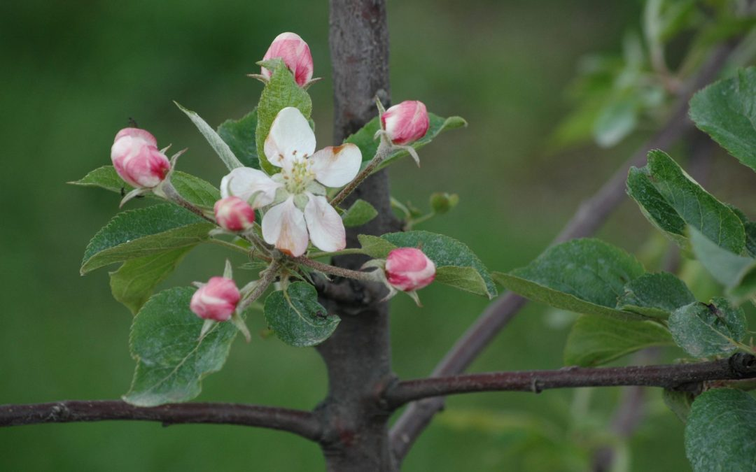 Obstbaumblüte
