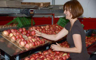 Die ersten Pausenäpfel werden sortiert