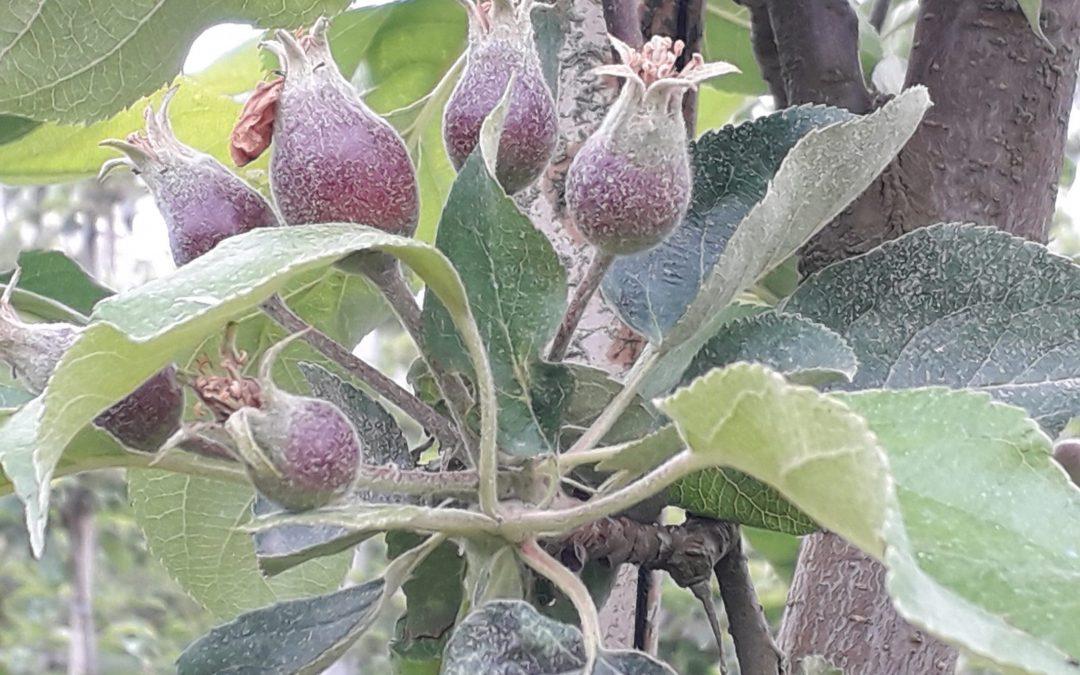 Die ersten kleinen Bio-Äpfel