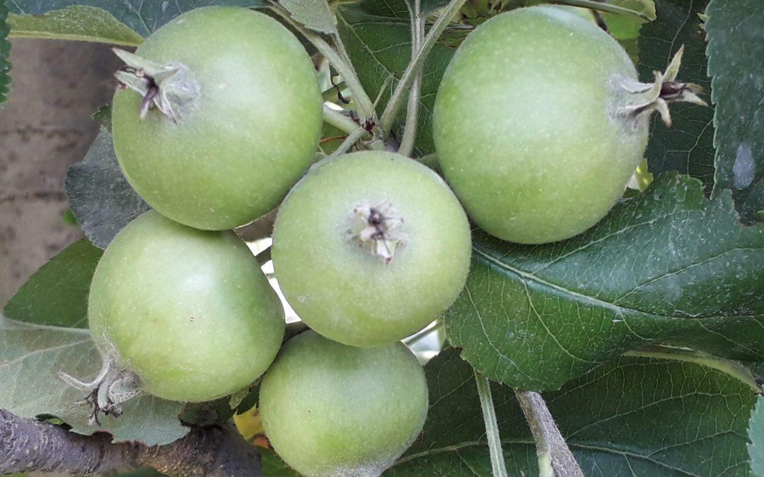 Fruchtausdünnung