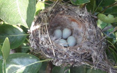 Vogelnester im Bio-Obstgarten