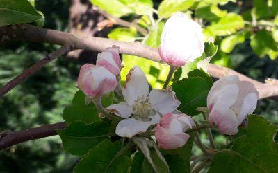Äpfel für Allergiker