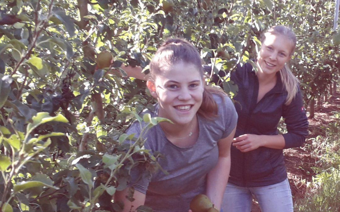 Unsere Bio-Birnen sind reif
